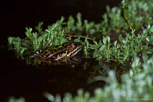 Grenouille de Berger – Pelophylax lessonae bergeri (Günther in Engelmann, Fritzsche, Günther & Obst, 1986), (Poticcio (2A), France, le 03/09/2019)