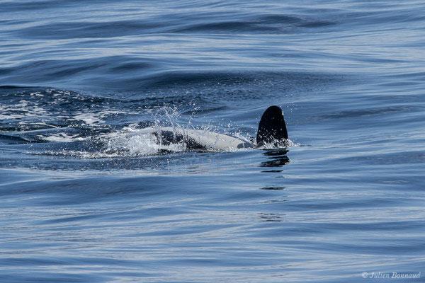 Orque, Epaulard (Orcinus orca) (Saint-Jean-de-Luz (64), France, le 05/10/2019)