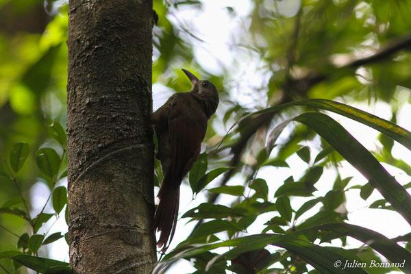 Grimpar de Perrot (Hylexetastes perrotii)