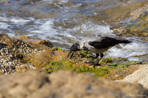 Corneille mantelée (Corvus cornix) (L'Île-Rousse (2B), France, le 13/09/2019)
