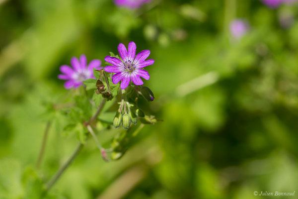 Géranium des Pyrénées (Geranium pyrenaicum) (Laruns (64), France, le 20/05/2019)