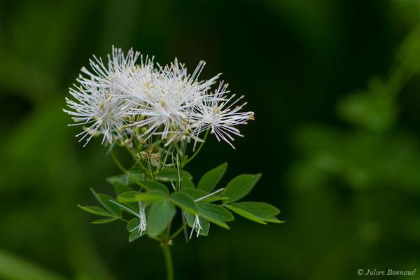 Pigamon à feuilles d'ancolie (Thalictrum aquilegifolium) (Le Bastan de Sers, Sers (65), France, le 29/06/2018)