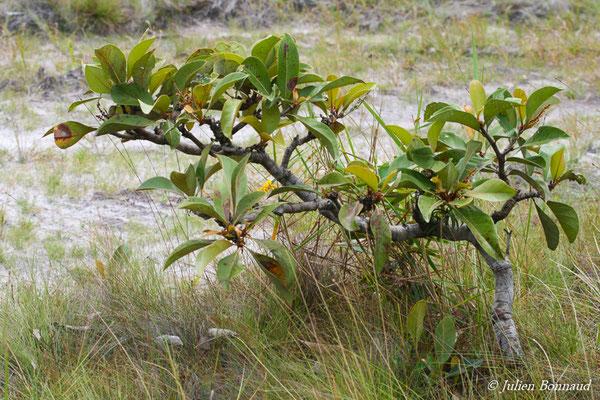 Byrsonima crassifolia (Centre Spatial Guyanais, Kourou, le 12/05/2014)