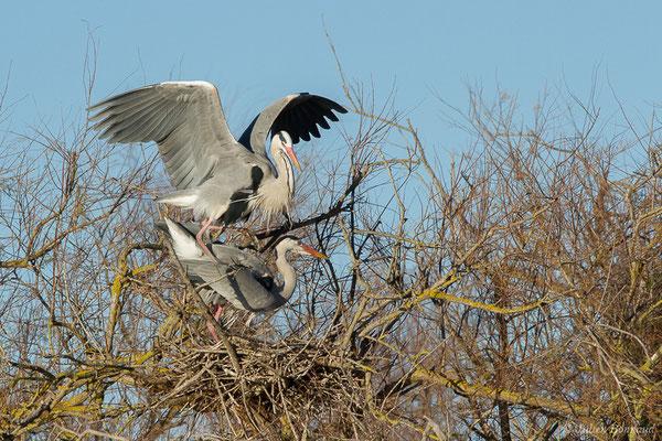 Héron cendré (Ardea cinerea) (Parc ornithologique de Pont de Gau (13), France, le 20/02/2020)