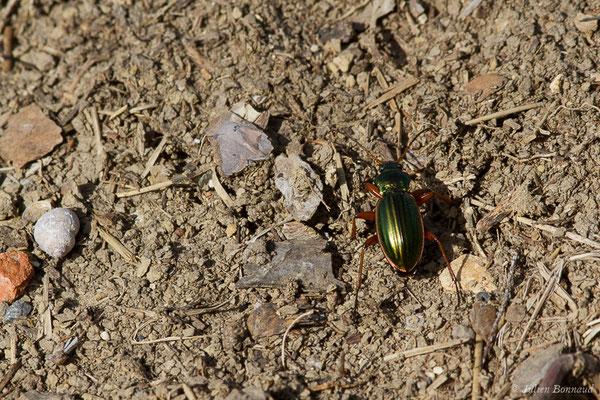 Carabe doré (Carabus auratus) (Pihourc, Saint-Godens (31), France, le 16/05/2019)