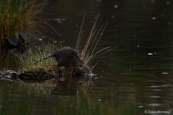 Ragondin – Myocastor coypus (Molina, 1782), (réserve ornithologique du Teich (33), France, le 23/01/2018)