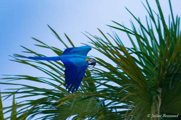 Ara bleu (Ara ararauna) (Centre Spatial Guyanais, Kourou, le 13/01/2017)