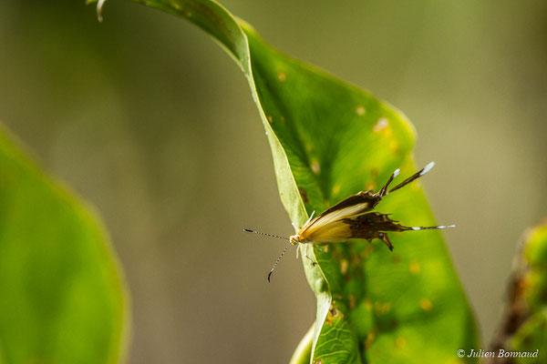 Helicopis cupido (Macouria, le 21/06/2017)