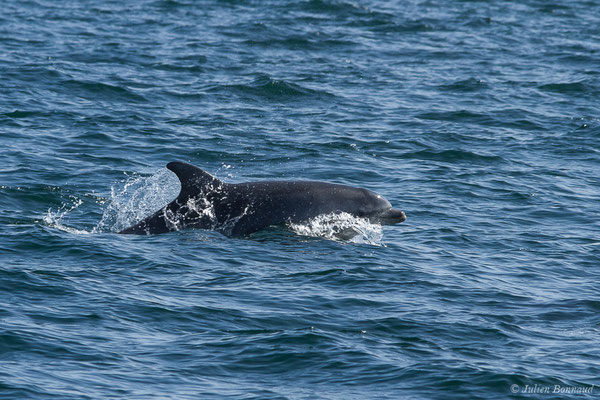 Grand dauphin (Tursiops truncatus) (Saint-Jean-de-Luz (64), France, le 20/04/2019)