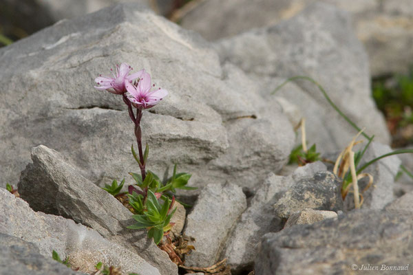 Sabline pourprée – Arenaria purpurascens Ramond ex DC., 1805, (Station de ski de Gourette, Euax-Bonnes (64), France le 05/08/2021)