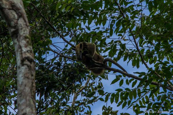 Tamandua (Tamandua tetradactyla) (mine d'or Espérance, Apatou, le 11/05/2017)