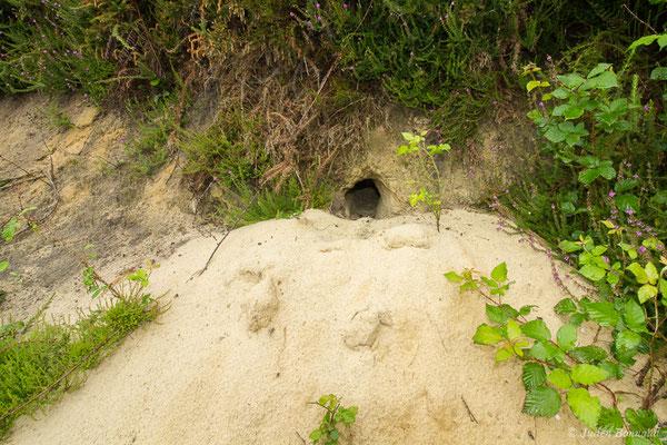Lapin de garenne – Oryctolagus cuniculus (Linnaeus, 1758), (terrier) (Pontonx (40), France, le 23/06/2021)