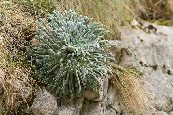 Saxifrage à feuilles longues (Saxifraga longifolia) (fort du Portalet, Etsaut (64), France, le 26/03/2021)