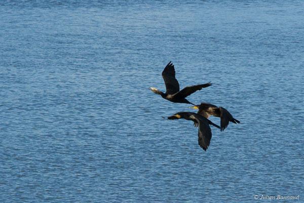 Grand Cormoran – Phalacrocorax carbo (Linnaeus, 1758), (adultes en plumages internuptiaux) (Baie de Saint-Brieuc, Hillion (22), France, le 24/11/2017)