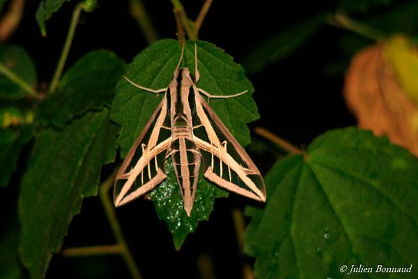 Eumorpha fasciatus fasciatus (Crique Canceler, Sinnamary, le 13/04/2014)