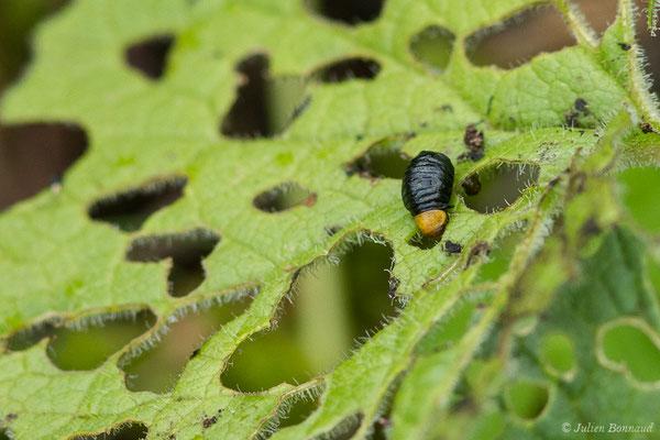 (Oreina speciosissima) (larve) (Station de ski de Gourette, Eaux Bonnes (65), France, le 15/06/2020)