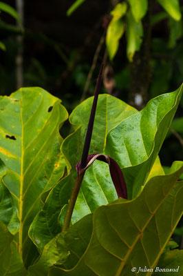 Anthurium jenmanii (Réserve Naturelle Trésor, route de Kaw, le 28/02/2017)