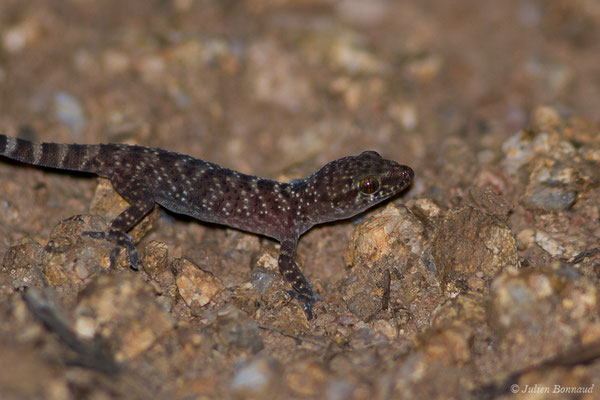 Hémidactyle verruqueux (Hemidactylus turcicus) (Bonifacio (2A), Corse (France), le 05/09/2019)