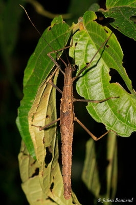 (Pseudophasma phthisica) (femelle sub-adulte) (Rorota, Remire-Montjoly, le 13/07/2015)