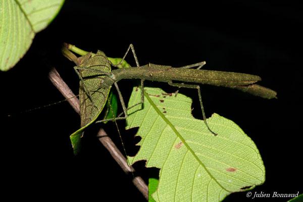 (Periphloea olivaceus) (femelle adulte) (Route du Galion, Le Solitaire, Roura, le 21/07/15)