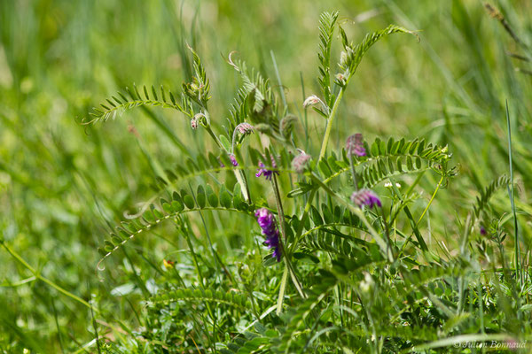 Vesce cracca (Vicia cracca) (Etssault (64), France, le 06/05/2019)