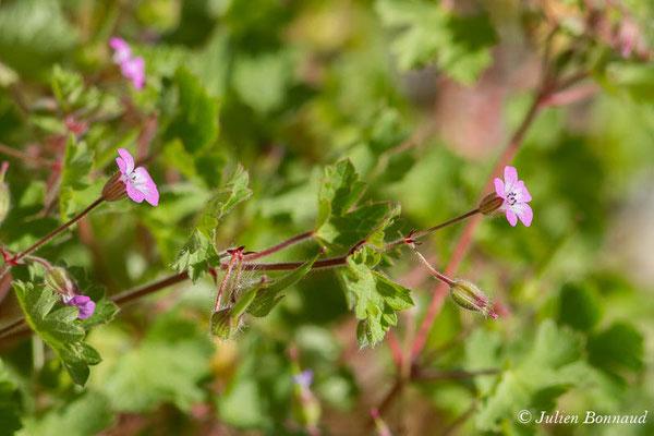 Géranium à feuilles rondes, Mauvette (Geranium rotundifolium) (Cette-Eygun (64), France, le 23/04/2021)