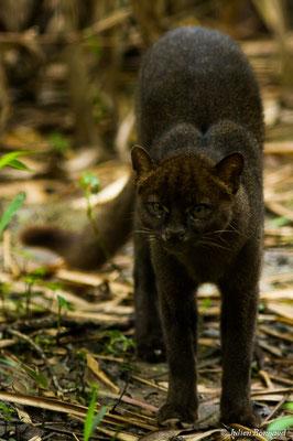 Jaguarundi (Puma yagouaroundi) (Zoo de Guyane, Montsinéry, le 09/07/2017)