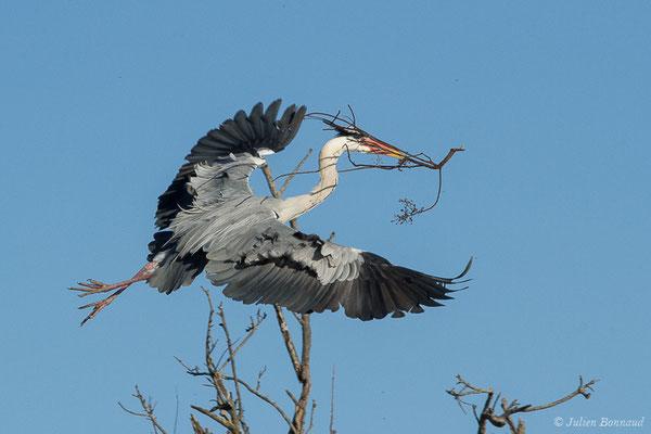 Héron cendré – Ardea cinerea Linnaeus, 1758, (Parc ornithologique de Pont de Gau (13), France, le 20/02/2020)