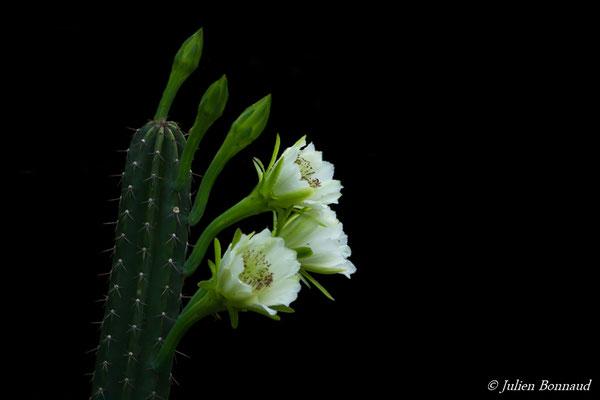 Cactus cierge (Cereus hexagonus) (Remire-Montjoly, le 15/02/2017)