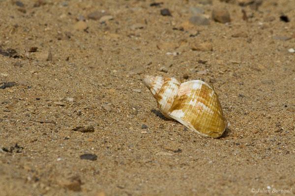 Bulot (Buccinum undatum) (Carnon, Mauguio (34), France, 2009)