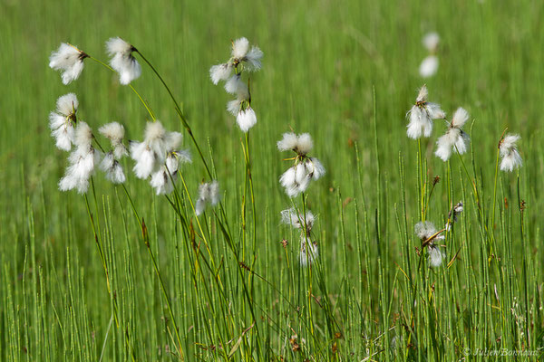 Linaigrette à feuilles étroites (Eriophorum angustifolium) (Col d'Aubisque, Béost (64), France, le 29/06/2019)
