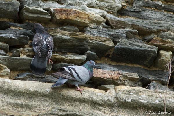 Pigeon biset domestique (Columba livia) (Josselin (56), France, le 14/01/2018)