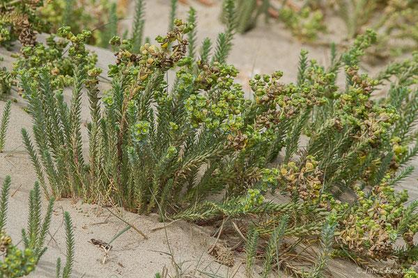 Euphorbe maritime ou Euphorbe des sables (Euphorbia paralias) (Tarifa (Andalousie), le 03/08/2020)