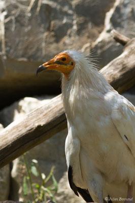 Vautour percnoptère (Neophron percnopterus) (adulte) (Parc animalier des Pyrénées, Argelès-Gazost (65), France, le 15/07/2018)