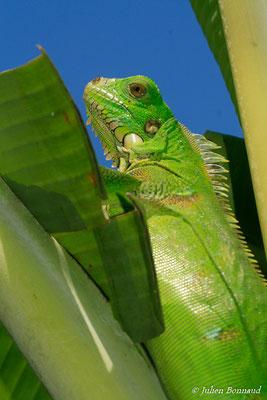 Iguane vert (Iguana iguana) (jeune) (Remire-Montjoly, Guyane, le 30/06/2015)