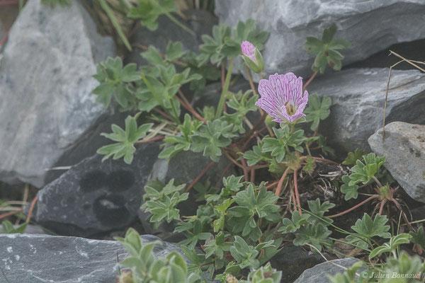 Géranium à feuilles cendrées ou Géranium cendré  (Geranium cinereum) (Station de ski de Gourette, Eaux Bonnes (65), France, le 15/06/2020)