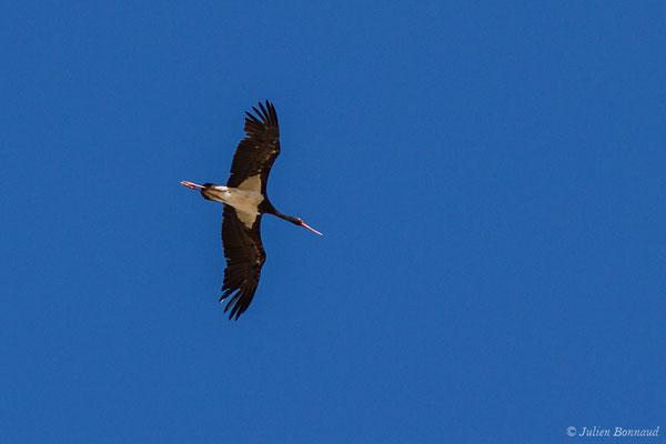 Cigogne noire (Ciconia nigra) (Parc National de Monfragüe (Estrémadure), Espagne, le 12/08/2020)
