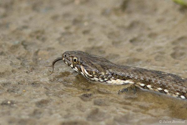 Couleuvre vipérine – Natrix maura (Linnaeus, 1758), (subadulte) (Adé (65), France, le 17/05/2021)