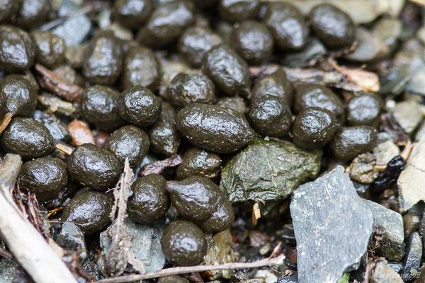Cerf élaphe – Cervus elaphus Linnaeus, 1758, (Fumées de mâle) (Ancizan (65), France, le 18/09/2020)