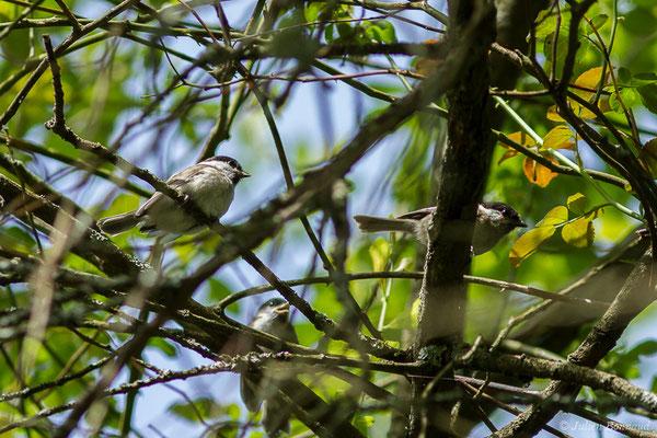 Mésange nonnette (Poecile palustris) (juvéniles et adulte) (Parbayse (64), France, le 07/05/2020)