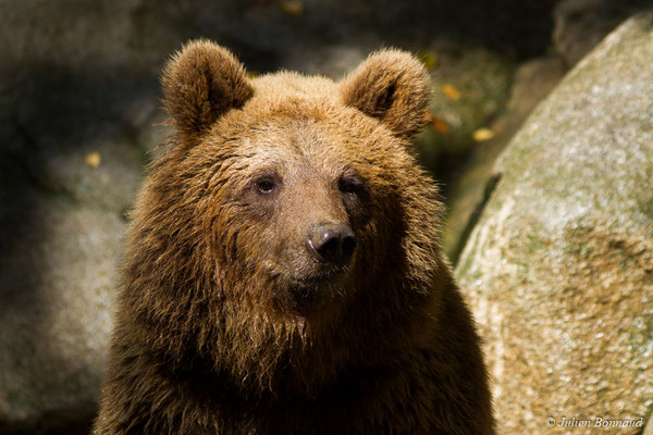 Ours brun – Ursus arctos Linnaeus, 1758, (individu âgé de 3 ans) (Parc animalier des pyrénées, Argelès-Gazost (65), France, le 03/10/2017)