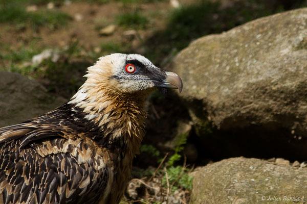 Gypaète barbu (Gypaetus barbatus) (mâle adulte) (Parc animalier des Pyrénées, Argelès-Gazost (65), France, le 01/04/2018)