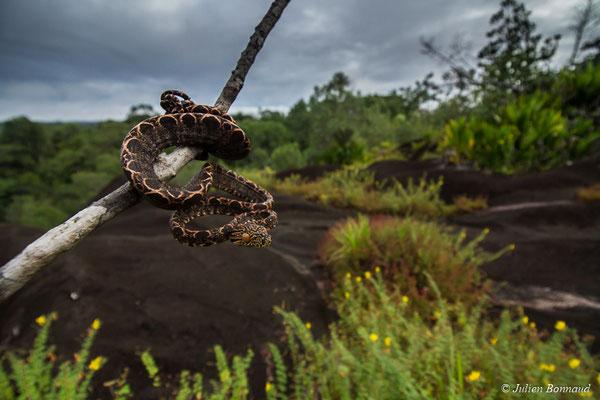 Boa d'Amazonie (Corallus hortulanus) (juvénile) (Savane-roche Virginie, Régina, le 16/07/2017)