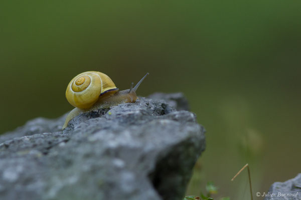 Escargot des haies (Cepaea nemoralis) (Bayonne (64), France, le 13/07/2018)