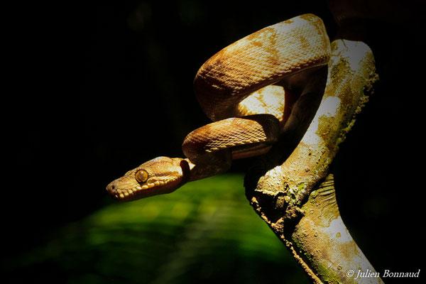 Boa d'Amazonie (Corallus hortulanus) (adulte) (Lycée agricole de Matiti, le 23/07/2014)