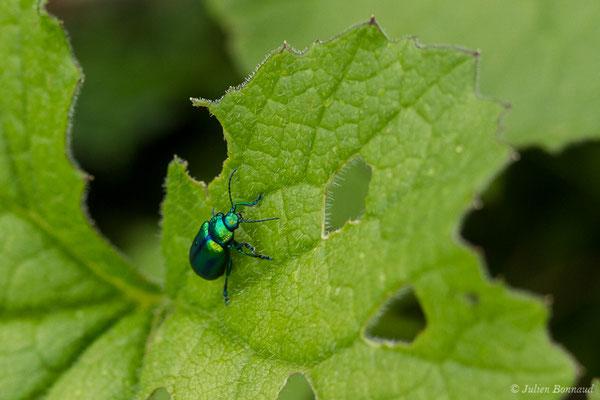 (Oreina speciosissima) (adulte) (Station de ski de Gourette, Eaux Bonnes (65), France, le 15/06/2020)