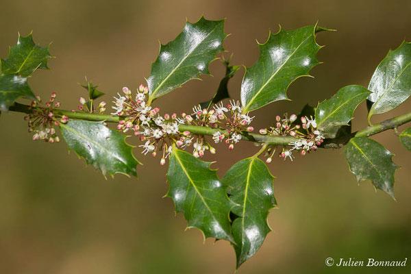 Houx (Ilex aquifolium) (Meillon (64), France, le 22/04/2021)