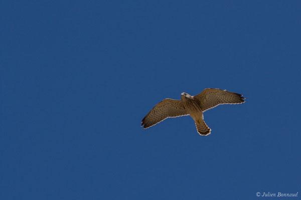 Faucon crécerellette (Falco naumanni) ((Andalousie), Espagne, le 01/08/2020)