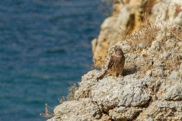 Faucon crécerelle – Falco tinnunculus Linnaeus, 1758, (Lagos (Faro), (Algarve), Portugal, le 29/08/2018)