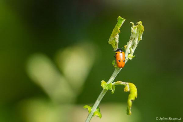 Clytre des saules (Clytra laeviuscula) (Ibos (65), France, le 09/06/2020)